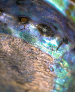 15764-3-Abalone-Shell-Blue-Green-5-6-inch-Northland-Visions